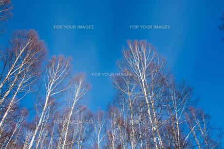 青空と冬のシラカバ林 FYI00885737