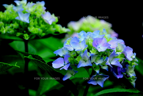 紫陽花 FYI00885957