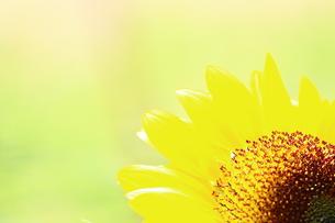 ひまわりの花 FYI00886163