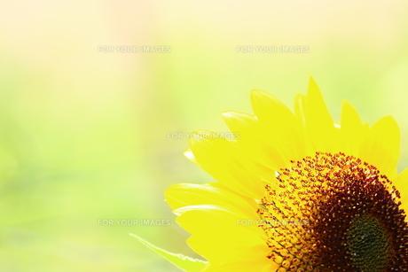ひまわりの花 FYI00886164