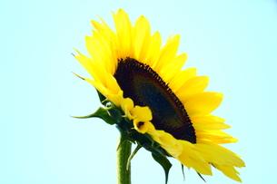 ひまわりの花 FYI00886168