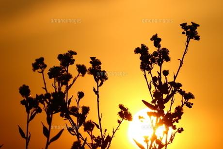 夕焼け空とハルジオン FYI00886181