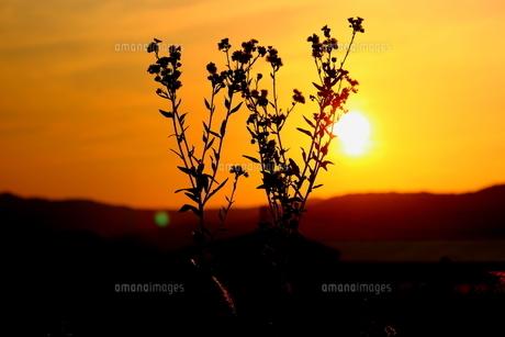 夕焼け空とハルジオン FYI00886182