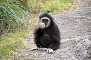 見つめる子猿(シロテテナガザル) FYI00891713