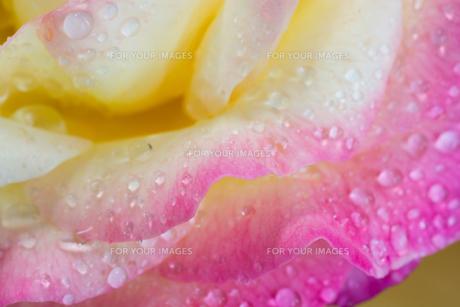 雨上がりのピンクと黄色のバラ FYI00891984