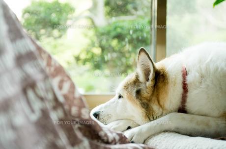 お昼寝する犬 FYI00893575