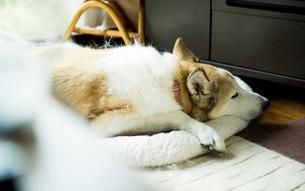 昼寝する犬 FYI00893576