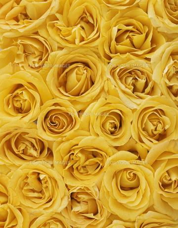 Yellow Roses FYI00905144