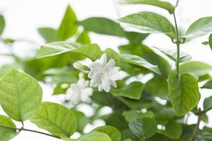 ジャスミンの花 FYI00914905