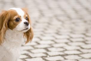 路上のキャバリア犬 FYI00917553
