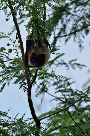 宮古島/ぎんねむ木にオオコウモリの写真素材 [FYI00920518]
