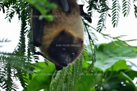 宮古島/ぎんねむ木にオオコウモリの写真素材 [FYI00920519]