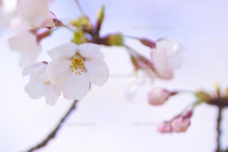 ソメイヨシノ FYI00932509
