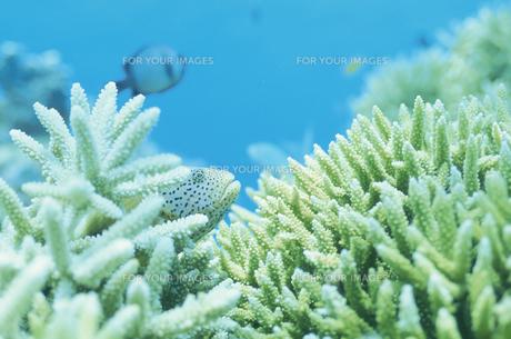 サンゴとカンモンハタ FYI00933606