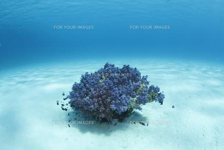 慶良間諸島の砂地の海底に咲くソフトコーラル FYI00934062