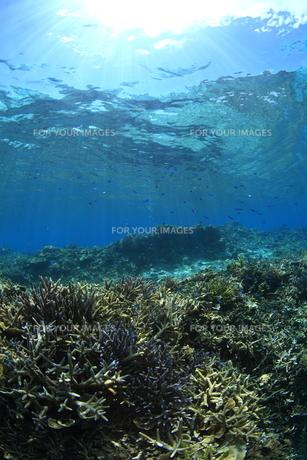 慶良間諸島 ラムサール条約登録海域のサンゴ群の素材 [FYI00934073]