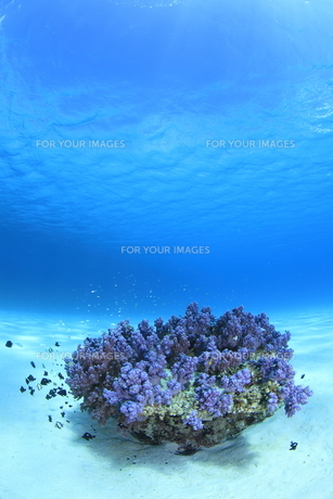 慶良間諸島の砂地の海底に咲くソフトコーラル FYI00934109