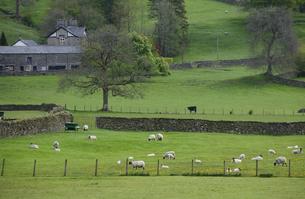 羊と牧場の素材 [FYI00940263]