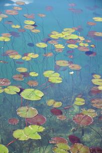 ブレッド湖の蓮の葉の素材 [FYI00940294]