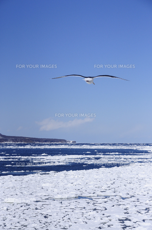 オホーツク海の流氷とカモメの素材 [FYI00940302]