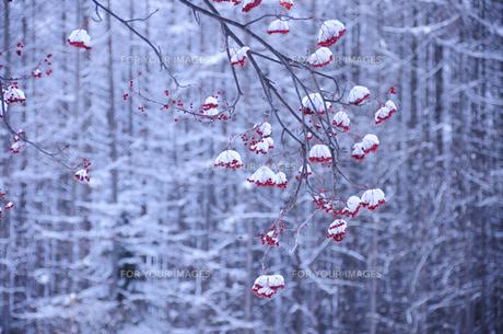 雪の積もったナナカマドの実の素材 [FYI00940321]