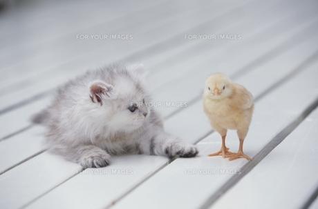ペルシャチンチラ(ネコ)とヒヨコ FYI00940933