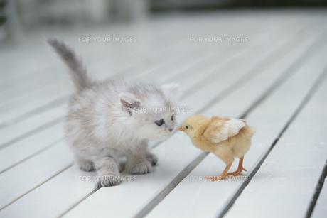 向き合う猫(ペルシャチンチラ)とヒヨコ FYI00941018