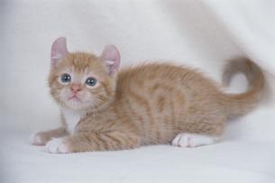 子猫(アメリカンカール) FYI00941188