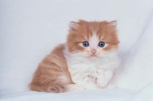 ペルシャの子猫 FYI00941317