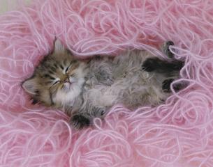 仰向けに寝るネコ FYI00941350