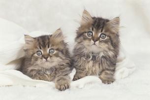 ペルシャの子猫2匹 FYI00941360