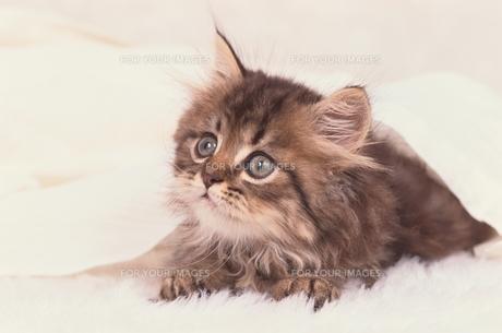 ペルシャの子猫 FYI00941369
