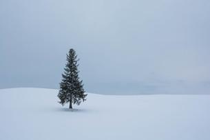 雪原に立つ松の木 美瑛町 FYI00941873