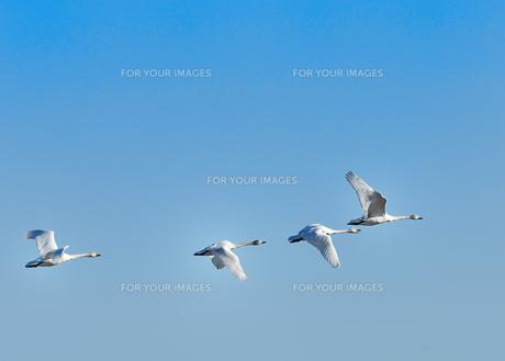 白鳥の群れ FYI00941879