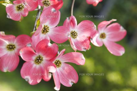 ハナミズキの花 FYI00947207