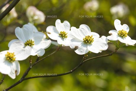 ハナミズキの花 FYI00947241