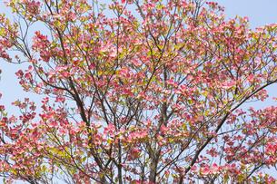ハナミズキの花 FYI00947291