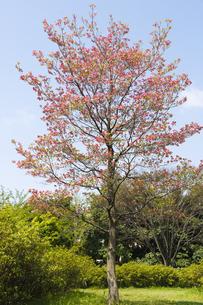 ハナミズキの花 FYI00947340