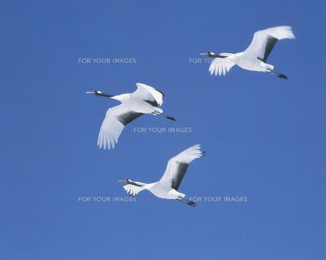 青空を飛ぶ丹頂鶴 FYI00952071