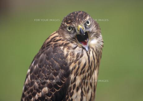オオタカの若鳥 FYI00953984