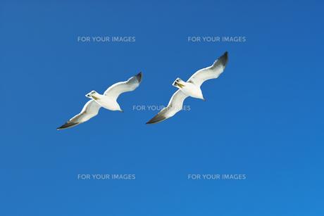 青空に飛ぶカモメ FYI00969077