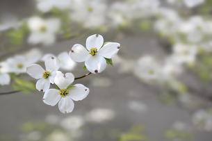 白いハナミズキ FYI00991051