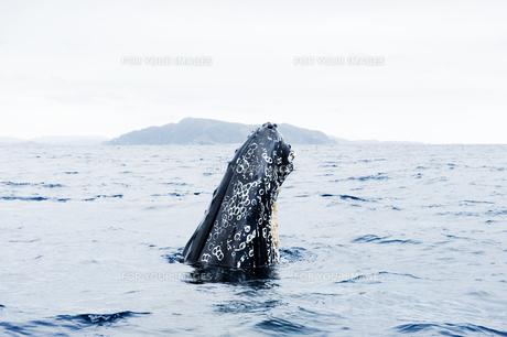 鯨のヘッドスラップの素材 [FYI00992335]