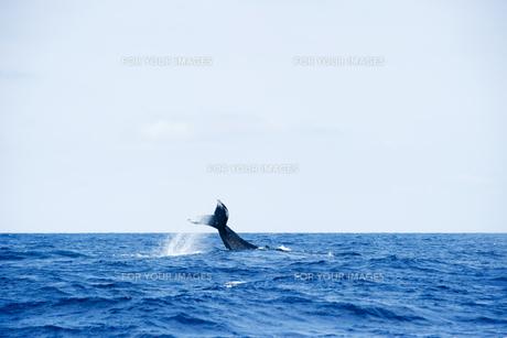 鯨の尾びれの素材 [FYI00992343]