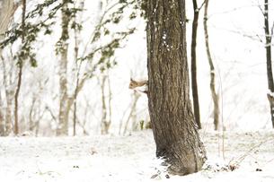 雪の積もった森のリス FYI00992369