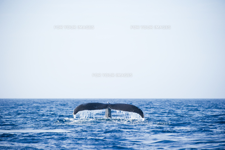 鯨の尾びれの素材 [FYI00992415]