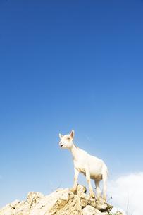 岩に登る山羊 FYI00992418