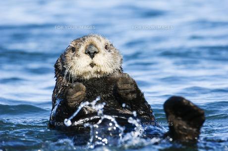 手を挙げて泳ぐラッコ FYI00992426