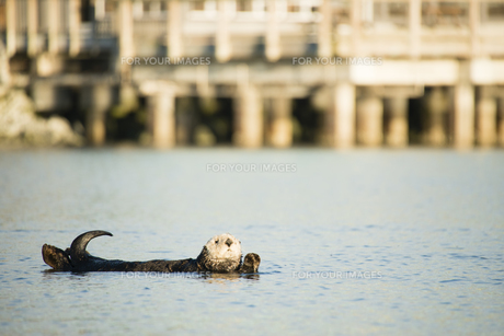 のんびりと泳ぐラッコ FYI00993156