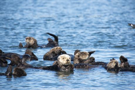 海でのんびりするラッコの群れ FYI00993165